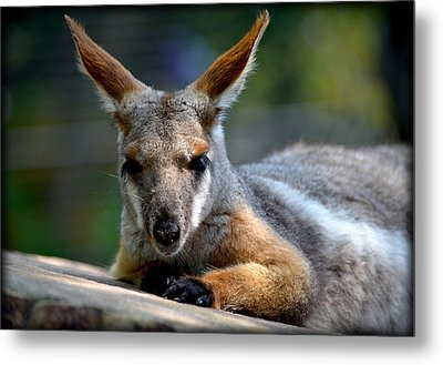 Metal Print featuring the photograph Wallaroo 2 by Amanda Vouglas