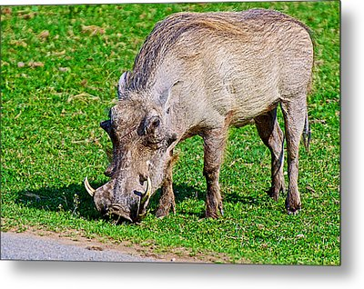 Warthog In Addo Elephant Park Near Port Elizabeth-south Africa  Metal Print by Ruth Hager