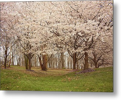 Washington Dc Cherry Blossoms Metal Print by Kim Hojnacki