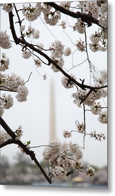 Washington Monument - Cherry Blossoms - Washington Dc - 011341 Metal Print