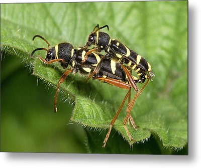 Wasp Beetles Metal Print
