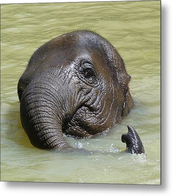 Watch My Trunk - Young Asian Elephant Metal Print
