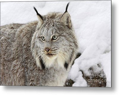 Watchful Canadian Lynx Metal Print by Inspired Nature Photography Fine Art Photography