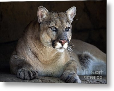 Watchful Cougar Metal Print by John Van Decker