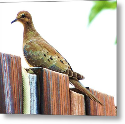 Watchful Dove Metal Print by Helen Carson