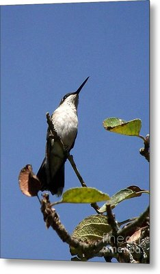 Watchful Female Hummingbird  Metal Print by Eunice Miller