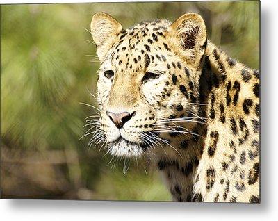 Watching Leopard Metal Print