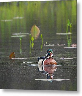 Water Birds Wood Duck Square Metal Print by Bill Wakeley