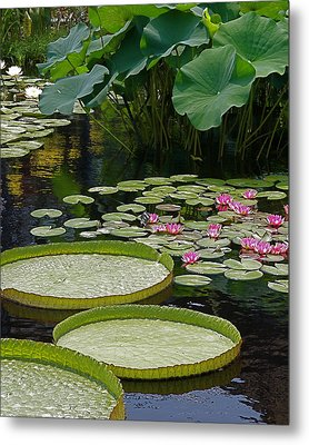 Metal Print featuring the photograph Water Lilies And Platters And Lotus Leaves by Byron Varvarigos