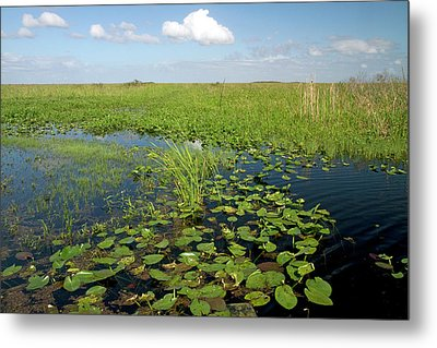 Water Lilies And Sawgrass Metal Print by David R. Frazier