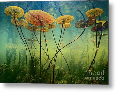 Water Lilies Metal Print by Frans Lanting MINT Images