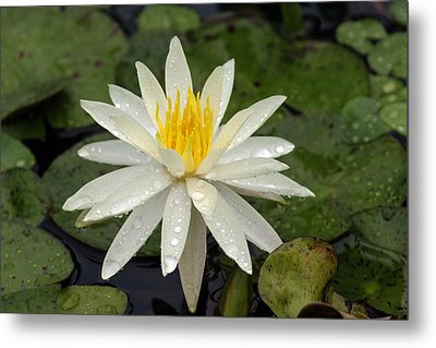 Metal Print featuring the photograph Water Lily 5 by David Lester