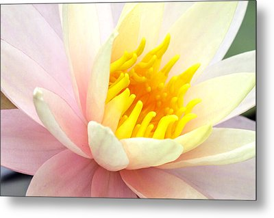 Metal Print featuring the photograph Water Lily 6 by David Lester