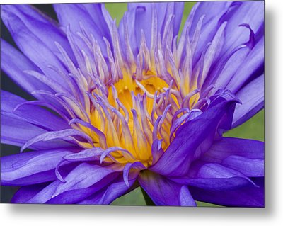 Metal Print featuring the photograph Water Lily 7 by David Lester