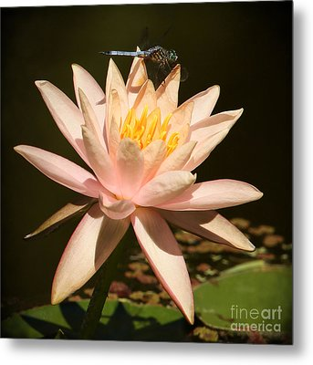 Water Lily And The Blue Dragonfly Metal Print