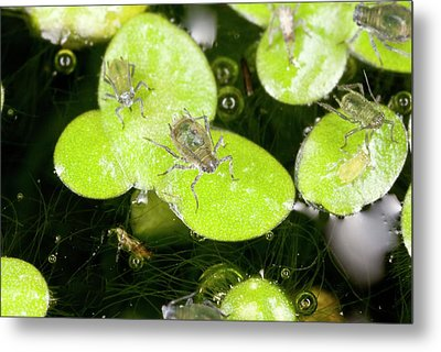 Water-lily Aphids On Duckweed Metal Print by Bob Gibbons