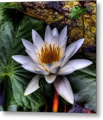 Water Lily Metal Print by David Patterson