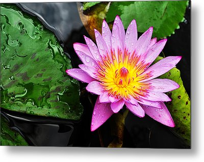 Water Lily Metal Print by Denise Bird