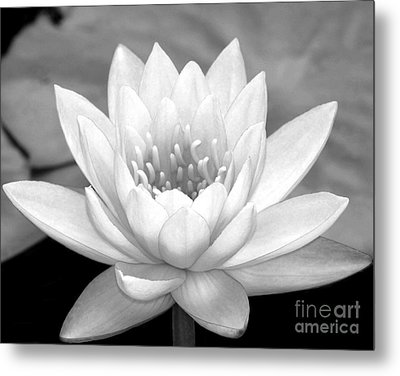 Water Lily In Black And White Metal Print by Sabrina L Ryan