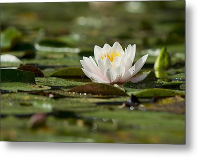 Water Lily Metal Print by Larry Bohlin