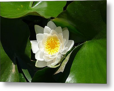 Water Lily Metal Print by Nora Boghossian