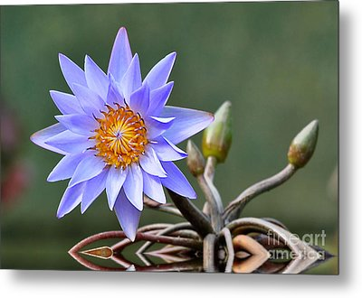 Water Lily Reflections Metal Print by Kathy Baccari