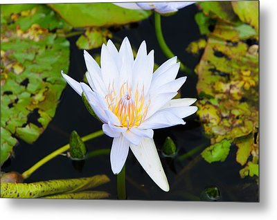 Water Lily With Lily Pads In A Pond Metal Print by Panoramic Images