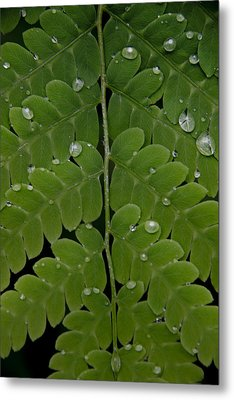 Water On Fern  Metal Print