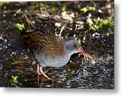 Water Rail Metal Print