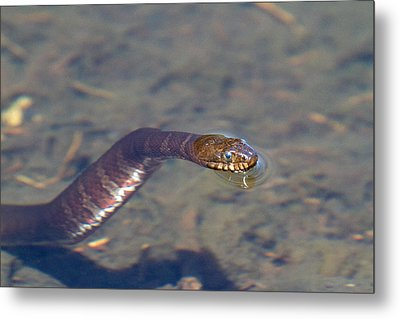 Water Snake Metal Print by Karol Livote