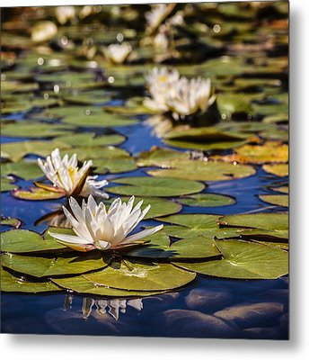 Waterlily Metal Print by Alfio Finocchiaro