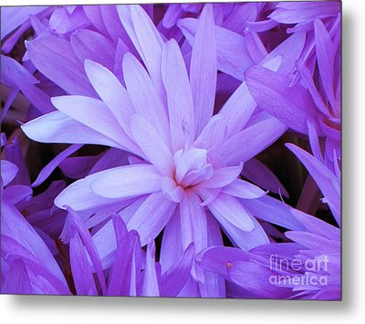 Waterlily Crocus Metal Print by Michele Penner