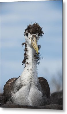 Waved Albatross Molting Juvenile Metal Print by Pete Oxford