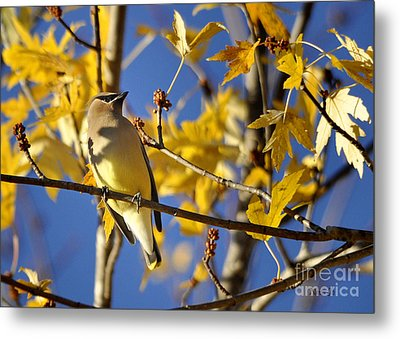 Waxwing Beauty Metal Print