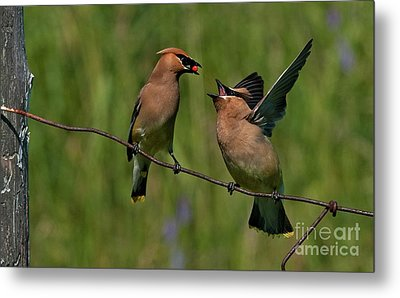 Waxwing Love.. Metal Print