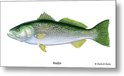 Weakfish Metal Print by Charles Harden