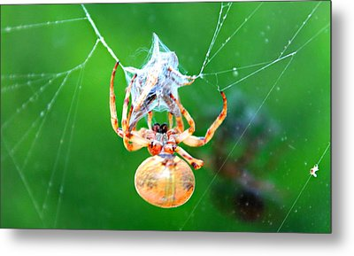 Weaving Orb Spider Metal Print by Candice Trimble