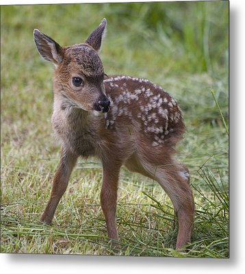 Wee Little Bambi Metal Print by Tracey Levine