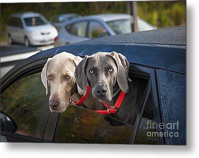 Weimaraner Dogs In Car Metal Print