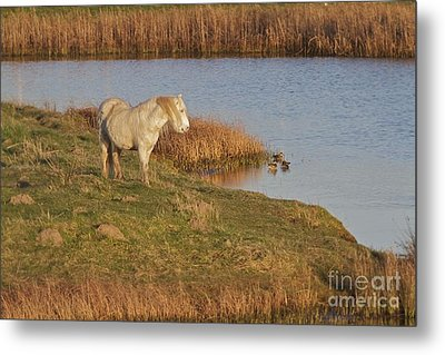 Metal Print featuring the photograph Welsh Pony  by Gary Bridger