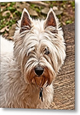 Metal Print featuring the photograph West Highland White Terrier by Robert L Jackson