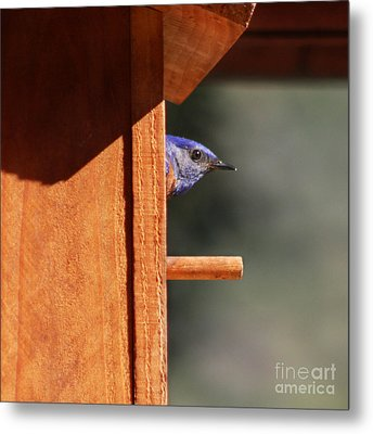 Metal Print featuring the photograph Western Bluebird At Nest by Bob and Jan Shriner