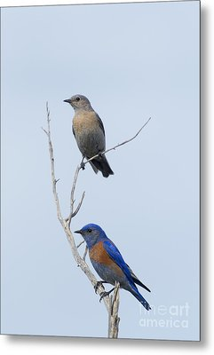 Western Bluebird Pair Metal Print by Mike  Dawson