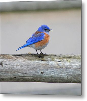 Metal Print featuring the photograph Western Bluebird Perching by Bob and Jan Shriner