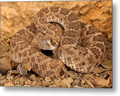 Western Diamondback Rattlesnake. Metal Print by John Bell