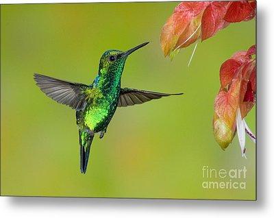 Western Emerald Hummingbird Metal Print by Anthony Mercieca