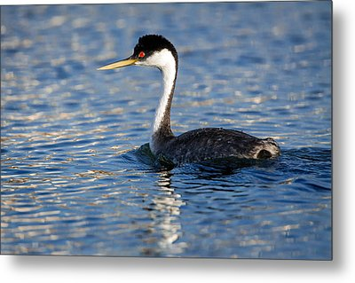 Metal Print featuring the photograph Western Grebe by Jack Bell