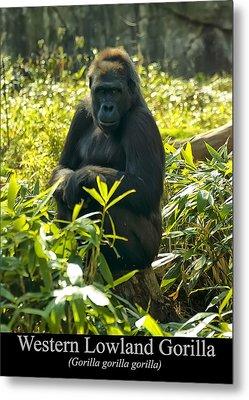 Western Lowland Gorilla Sitting On A Tree Stump Metal Print by Chris Flees