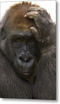 Western Lowland Gorilla With Hand Metal Print by San Diego Zoo