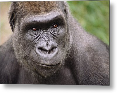 Western Lowland Gorilla Young Male Metal Print by Gerry Ellis